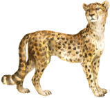 jungle Cheetah